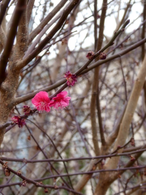 first cherry blossoms in D.C.