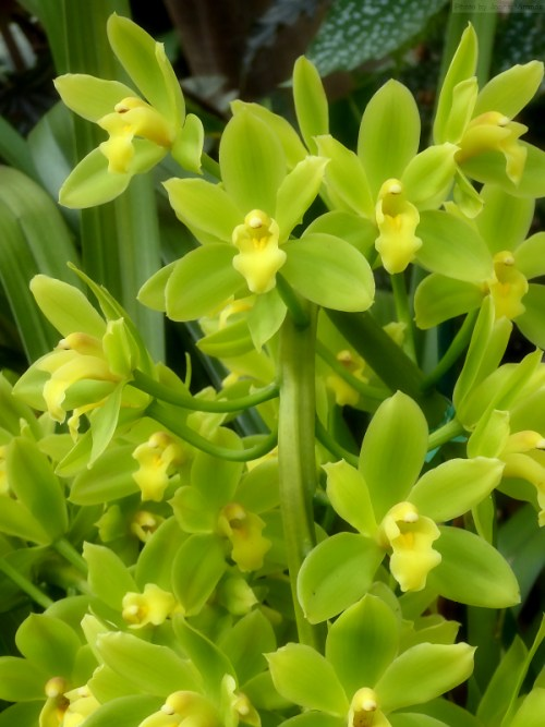 Pale green orchids