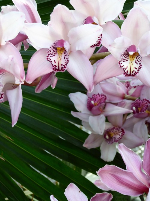 pale pink orchids