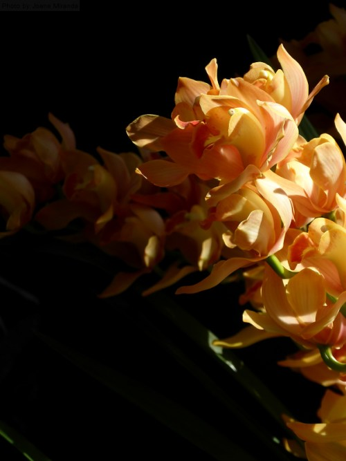 peach orchids