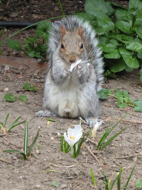 Squirrel eating the crocuses
