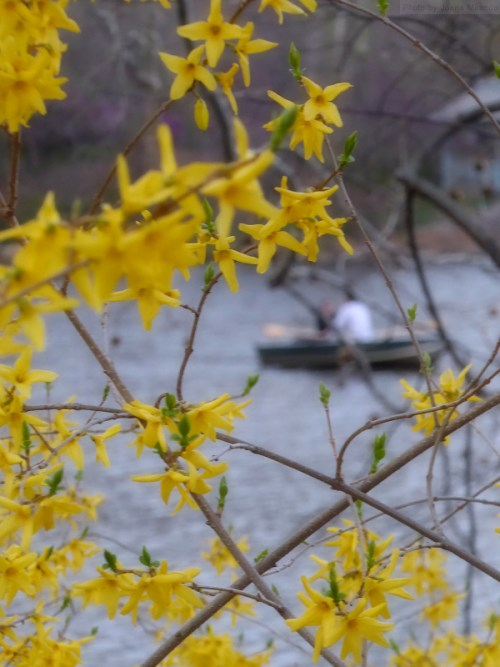 Yellow forsythia around the Lake in Central Park