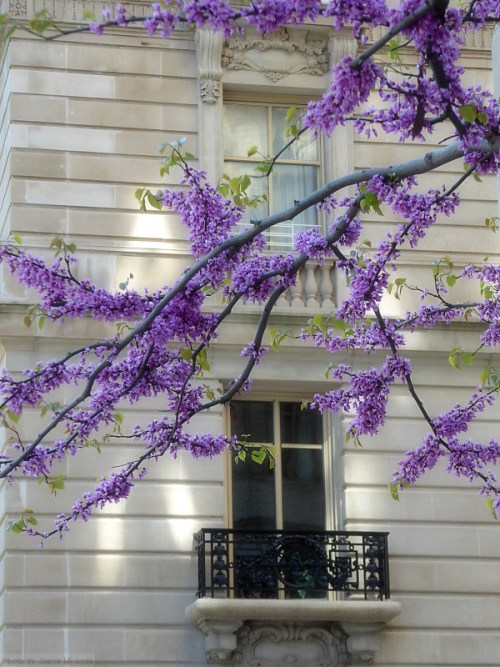 Purple tree blossoms over a window on the Upper West Side