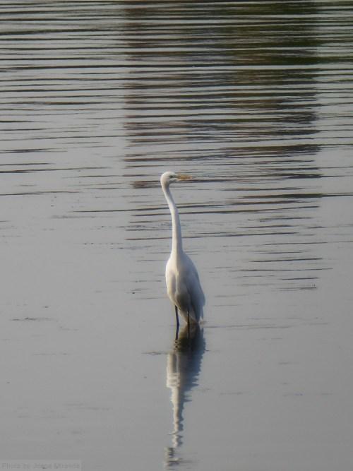 Egret on Jackie O Reservoir