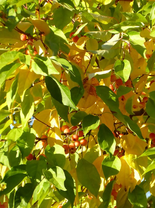 yellow-leaves-and-red-berries