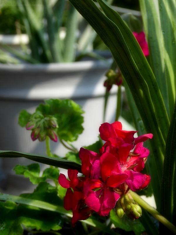 Photo of red geranium and green leaves, taken by Joana Miranda