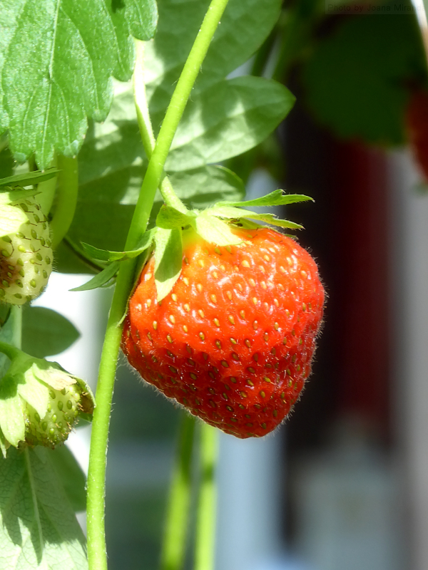Photo of ripening strawberry in my mom's garden, taken by Joana Miranda