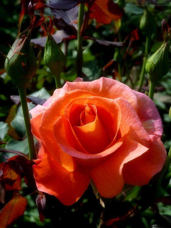 Photo of salmon-colored rose taken by Joana Miranda