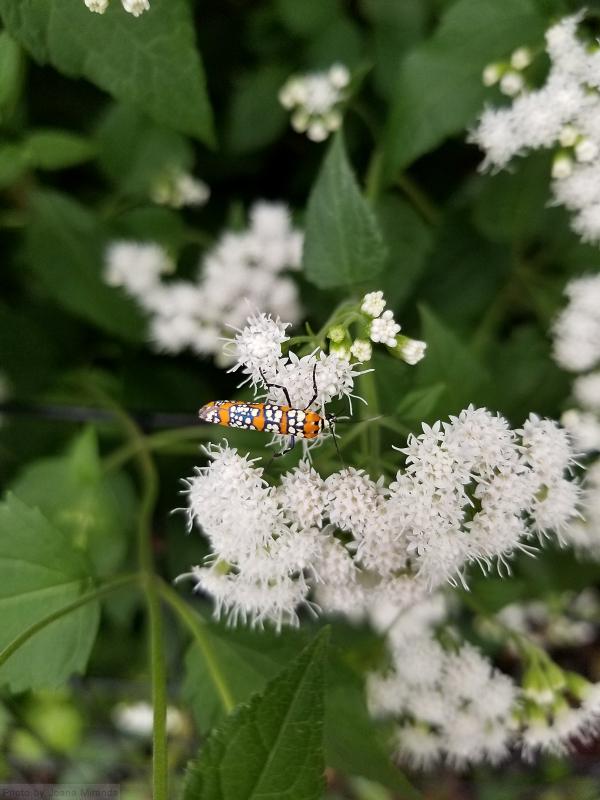 Photo of Ailanthus Webworm Moth on white blossoms, taken by Joana Miranda