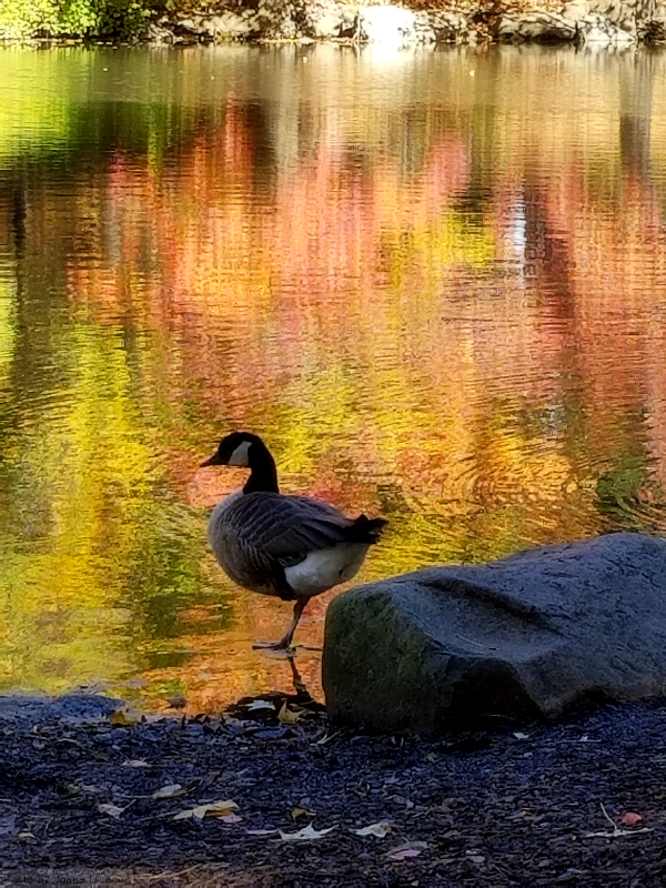 Duck in the autumn in Central Park