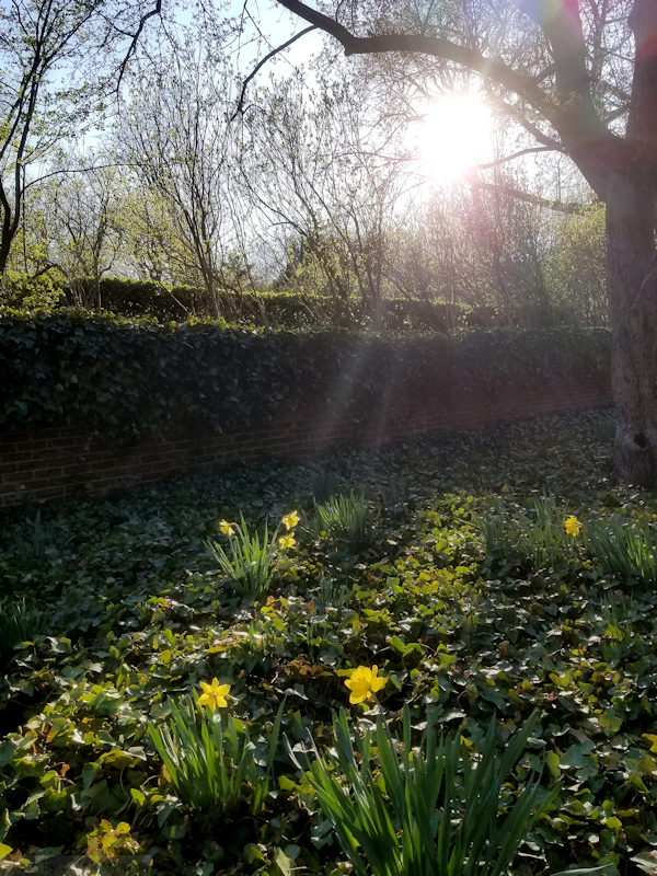 Late afternoon sun over the first daffodils of spring in the Conservatory Garden, photo by Joana Miranda