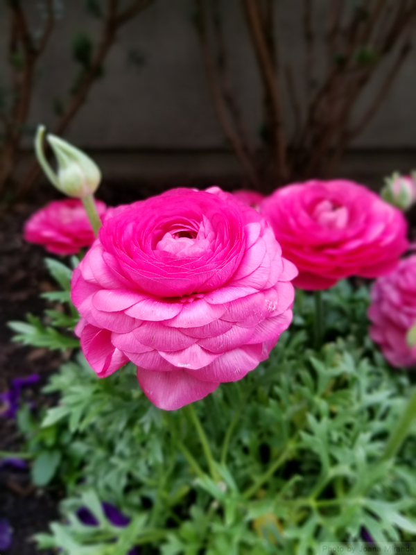 Photo of hot pink ranunculus flowers - the supreme triumph -  taken by Joana Miranda