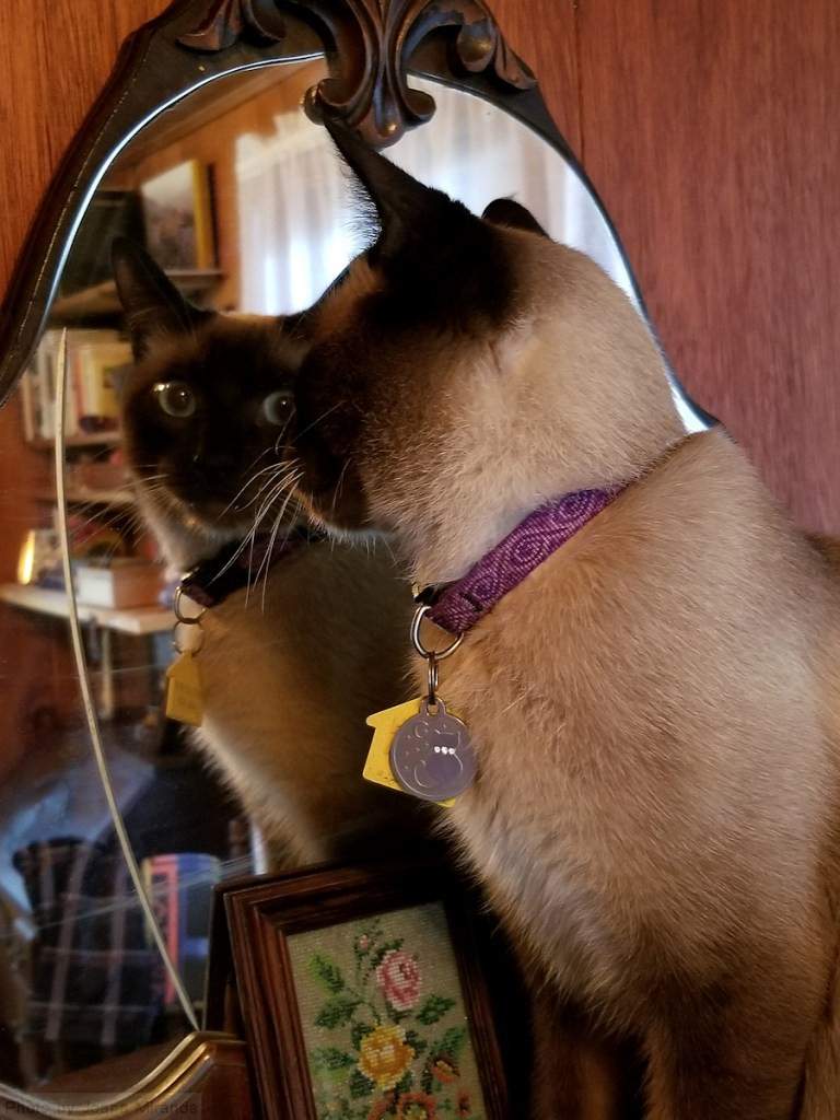 Photo-of-Siamese-cat-looking-at-himse
