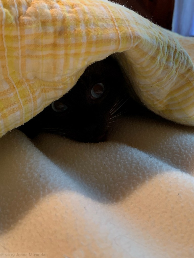 Photo-of-Siamese-cat-peeping-out-from-under-a-yellow-blanket-taken-by-Joana-Miranda-1