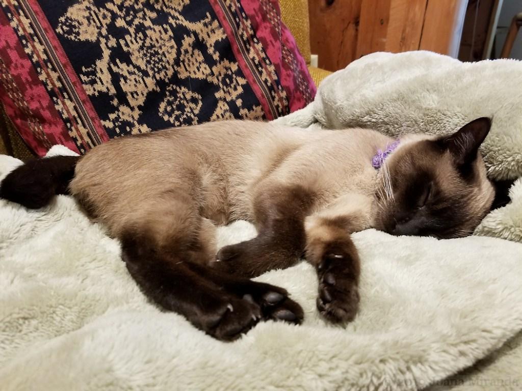 Photo-of-sleeping-Siamese-cat-taken-by-Joana-Miranda