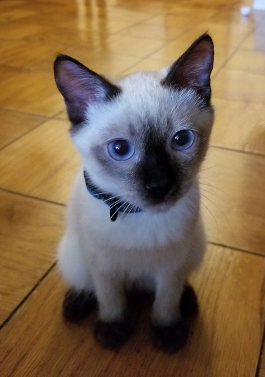 Photo of Toyboy Seal Point kitten at 5 months
