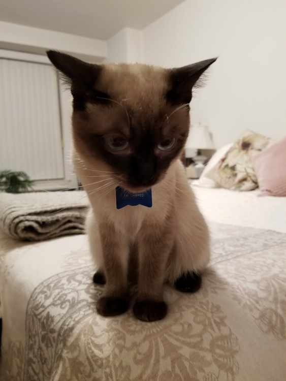 Crazy for cat illustrtations - Here's my muse, Ziggy, wearing his new bow-tie collar tag.