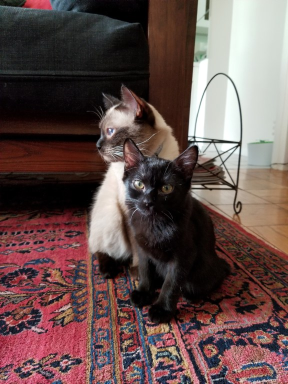 Photo of two Toybob cats -  Ziggy, 1 year old Seal Point, and Ollie, 5 month old black Toybob