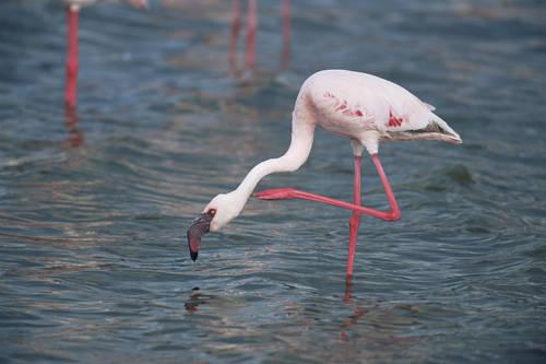 Kamfers Dam Flamingo