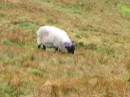 the sheep have no bother climbing up