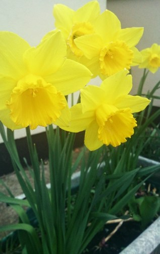 Daffodils always welcome spring