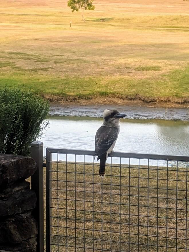 , Kookaburra, dry days