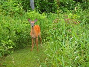 Oh Deer - Nature sightings - Copyright Jo-Ann Blondin