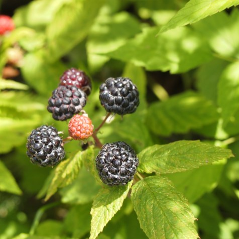 Black Raspberries - Copyright Jo-Ann Blondin