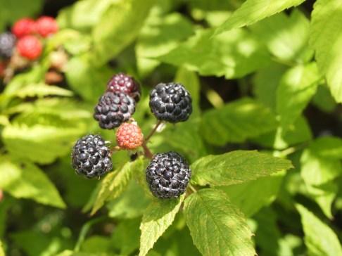 Black Raspberries - Copyright Jo-Ann Blondin