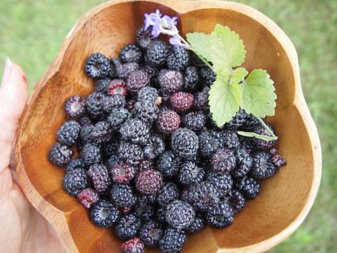 Black Raspberries with lavender and lemon balm. Copyright Jo-Ann Blondin