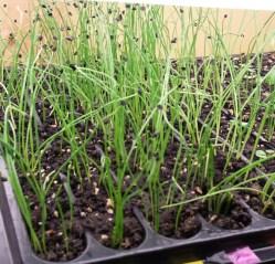 baby onion, shallots, leeks, and scallions