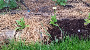 Two kinds of mulching for two different flowers.