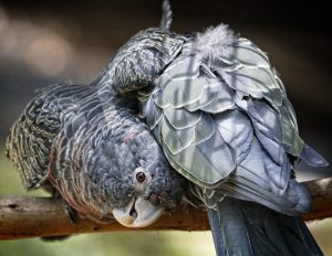 Gang Gang, parrot, bird.