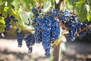 purple grapes for wine making