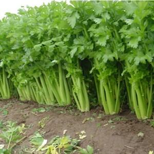 celery in the garden