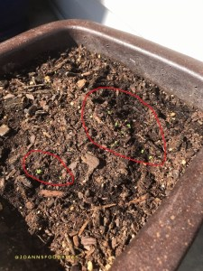 container pot of thyme seeds germinating