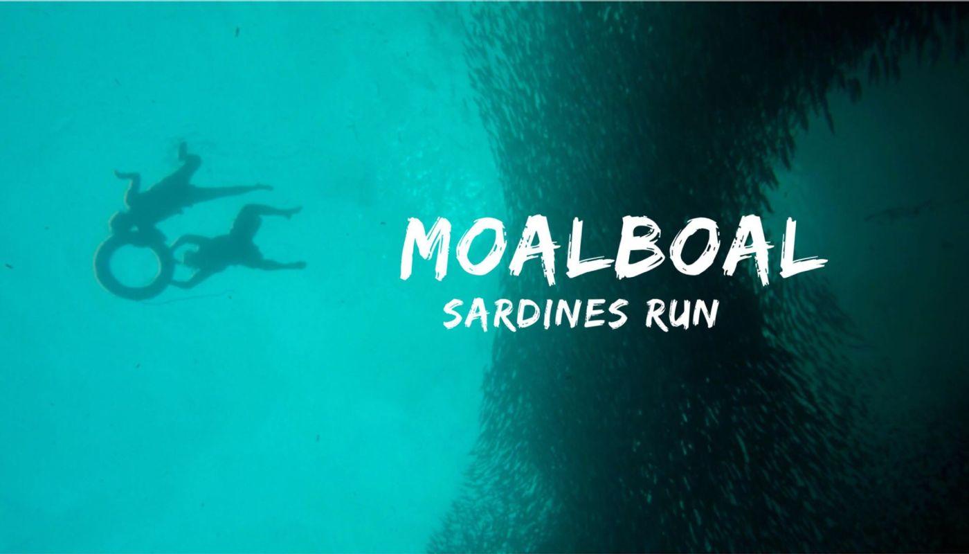 sardines run moalboal