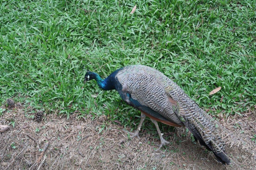 peacock at eden nature park davao