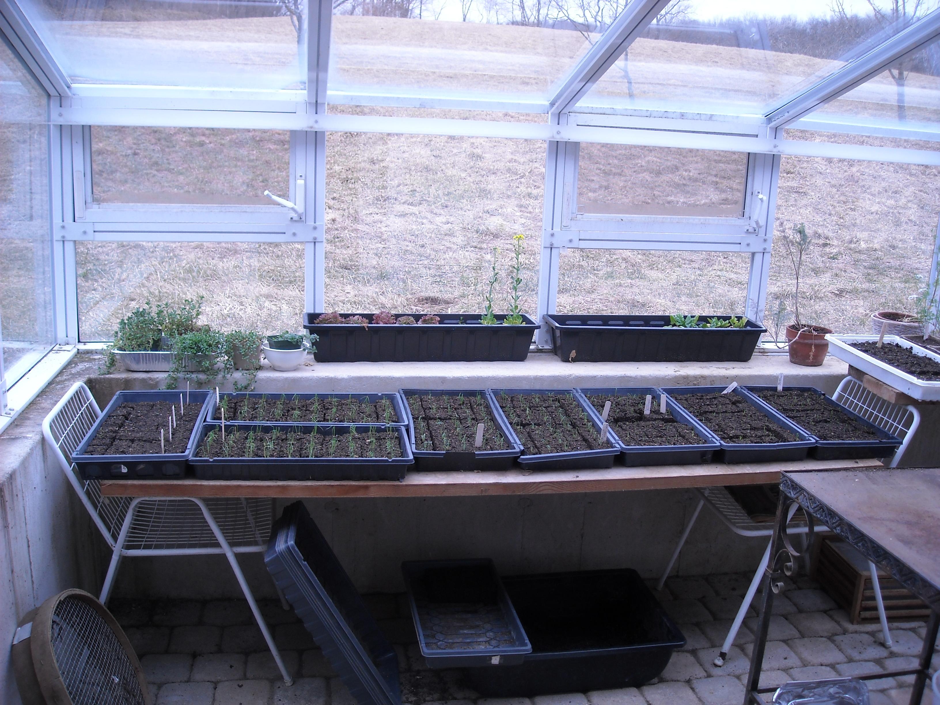 onion-seedlings-in-greenhouse