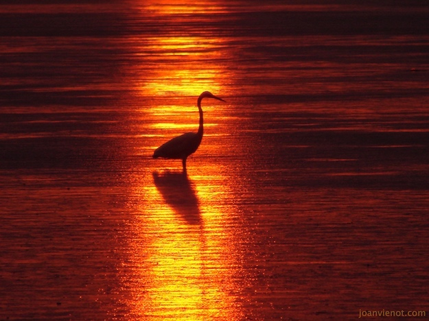 Photograph of egret at sundown in Port St. Joe, dark red and yellow