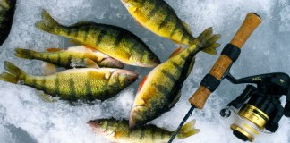 New Yellow Perch limit
