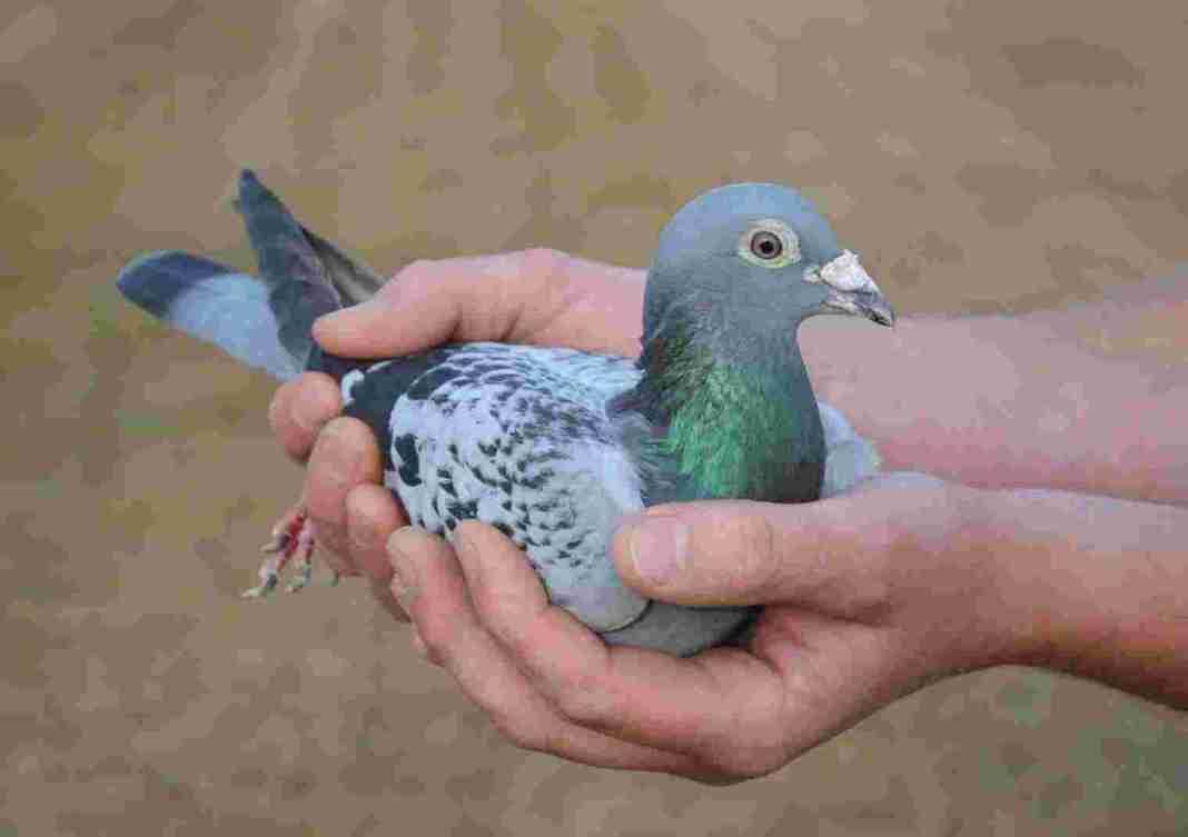 Armando the racing pigeon