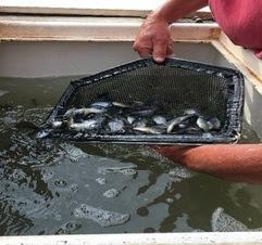 A net full of baitfish