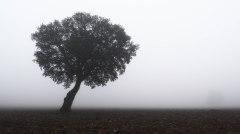 Encina bajo la niebla