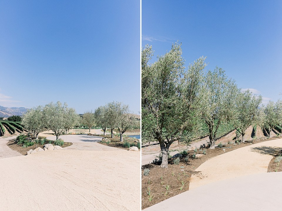 Olive trees and a sidewalk that winds through the space for cocktail hour. A second image of olive trees lined near the pathway.