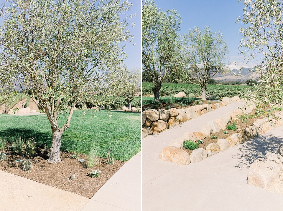 Pathways lined with olive trees at Rodney's Vineyard in Los Olivos at the Fess Parker wedding venue
