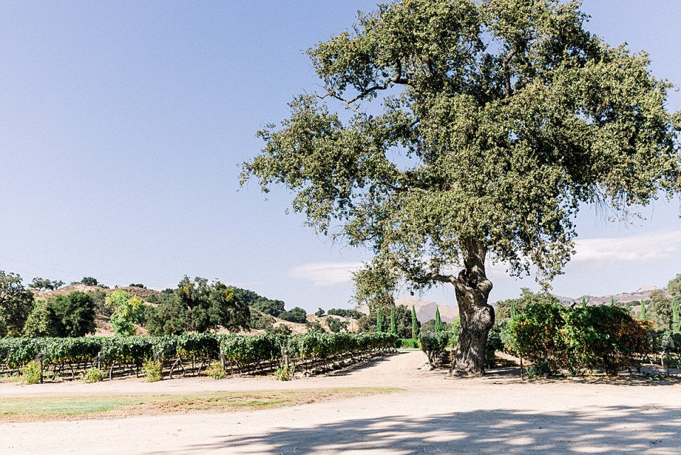 An oak tree and vineyards at the Fess Parker wedding venue in Los Olivos, California.