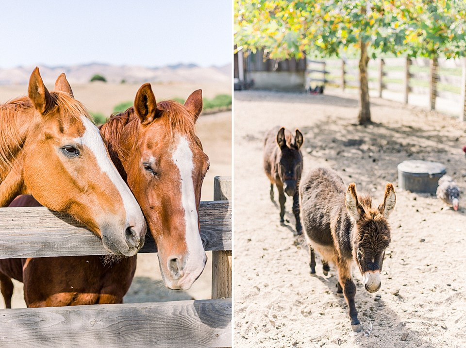 Two horses with their heads close together. A second image of two miniature donkeys walking towards the camera during the couple's San Luis Obispo Farm Wedding