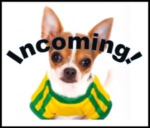 Incoming Chihuahua!