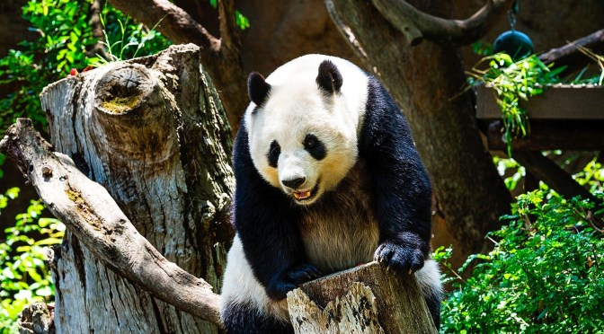 How You Can Help Save the Giant Panda